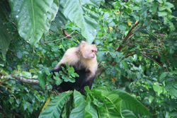 White-Faced Capuchin monkey on Monkey Island near Gamboa