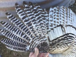 Barred primary wing feathers