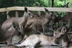 Kangaroos near Cairns