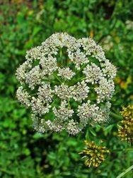 Hemlock water-dropwort flowers ****Poisnous