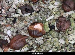 Hard-shelled fruit artefacts (Teluk Terima)