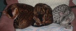 THREE BENGALS IN A POD...