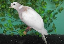 Violet Neck Tufted female