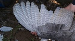 Slate primary & secondary wing feathers are barred