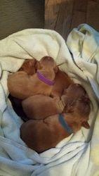 Puppies snug in towel nest
