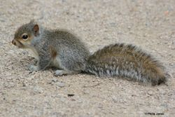 Juvenile Grey Squirrel