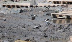 Sand Martins Gathering mud