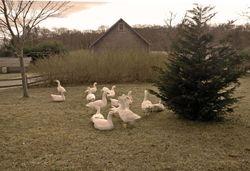 Geese, West Tisbury