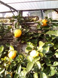 Citrus fruits of Cannero Riviera (VB)
