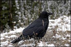 Raven,Alberta