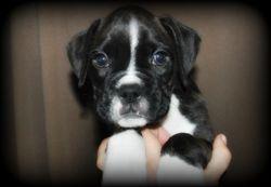 Bosco 7 weeks (Laddy)