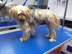 Before - Yorkshire Terrier