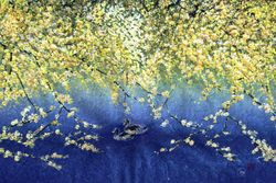 Yellow Cherry Blossom