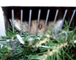 Desert finch female on nest