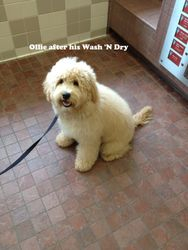 Ollie-Labradoodle