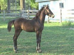Frizanttia - Friesian Sporthorse