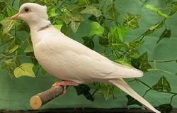 Blond Ivory female