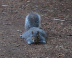 Flattened squirrel!