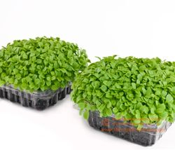 ENDIVE microgreens, 8 days since sown