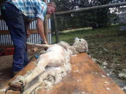 Ground shearing