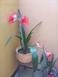 Jay Johnson's beautiful Amaryllis