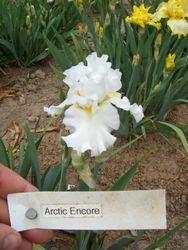Arctic Encore