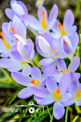 Crocus Bunches Color