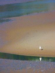 Tenby gull