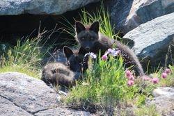 Silver fox cubs at Cape Bonnavista