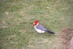 The Point at Poipu Resort - Brazilian Red Cap Cardinal