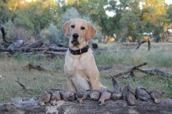 6-month-old Bode after his first dove hunt