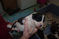 Jazzys babies-13 days old - Max-Black and white male -13 days old