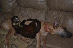 Sybil the Coatimundi and a great dane puppy
