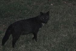 Cachorro do mato ( Cerdosyon thous ) melanico