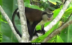 """George"", adult male mona monkey in Grand Etang National Park in April 2014"