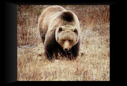 Grizzly staredown