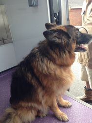 Before - Long Haired German Shepherd