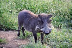 Warthog - Zimbabwe