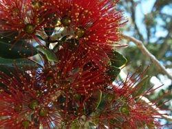 Pohutakawa blossom