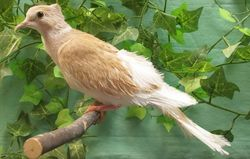 Tangerine Pearled Crested Silky