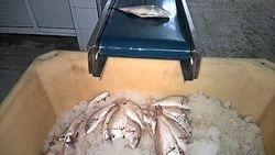 hgt fish