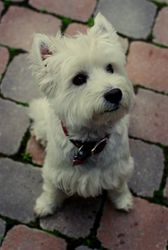 Waggish, our little West Highland Terrier!