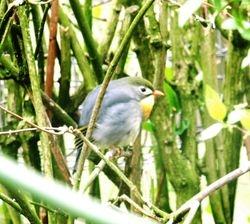 Australasian bird
