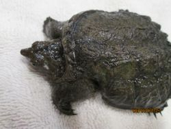 Little snapper with shell deformity