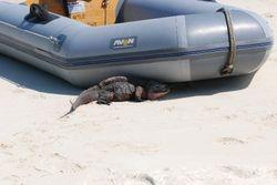 An iguana takes a liking to our dinghy!