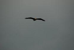 Bald Eagle at Pine Island