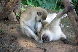 Monkeys at Victoria Falls
