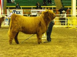 Looking sharp in the show ring.