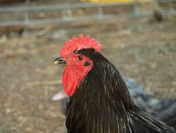 Jersey Giant Rooster