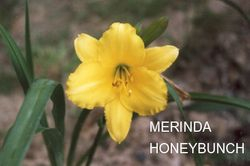 MERINDA HONEY BUNCH  $5